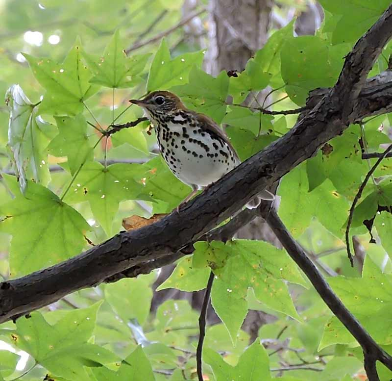 Mandares Creek Sanctuary - Woodthrush