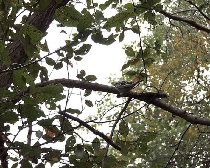 Mandares Creek Sanctuary - Black-winged Warbler