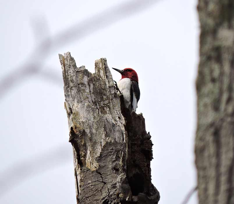Mandares Creek Sanctuary - Red-headed Woodpecker