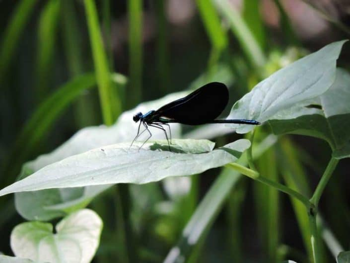 Myrtle Simon Pelot Sanctuary - Dragonfly