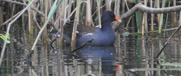 Common Gallinule by Kurt Schwarz
